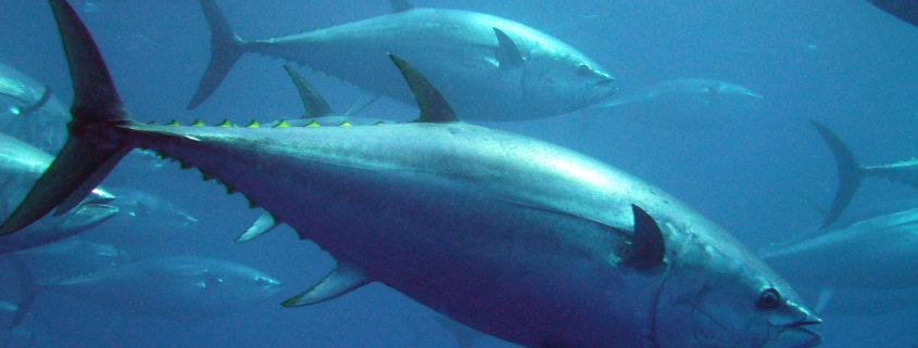 Descubre La Cría En Cautividad Del Atún Rojo En El Mediterráneo
