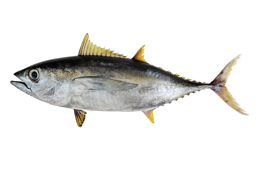 Atun -Tuna
